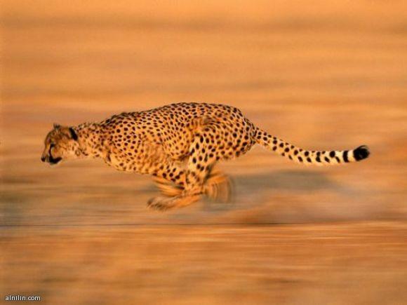 فهد يركض بسرعة شديدة