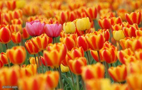 وردتان من الزنبق تبرز من بين العديد من الورود البرتقالية وزوهر الأقحوان الصفراء