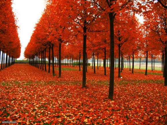 الحياة بالالوان اشجار حمراء
