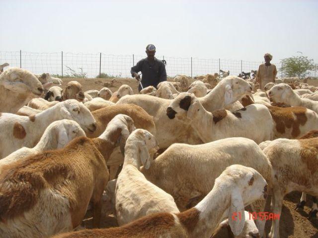 وزير الثروة الحيوانية يدعو لإحكام التنسيق بين المركز والولايات للوصول للإكتفاء الذاتي من المنتجات الحيوانية