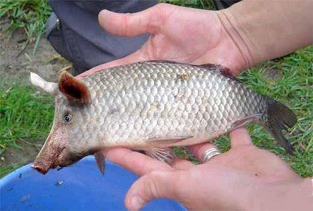 peixe_focinho_de_porco_rio_tejo_1