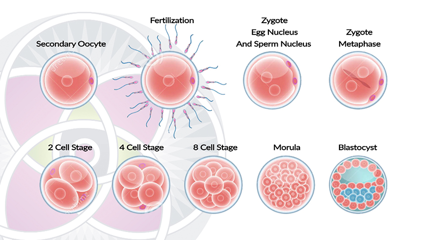 Where Stem Cells Come From in Our Development