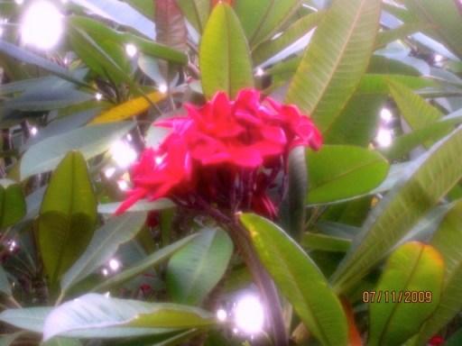 Maroon Plumeria