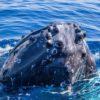 Humpback Whale on Maui close up