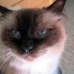 Caico cat himalayan blue eyes