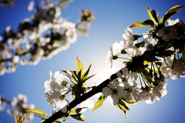 fleur de cerisier printemps