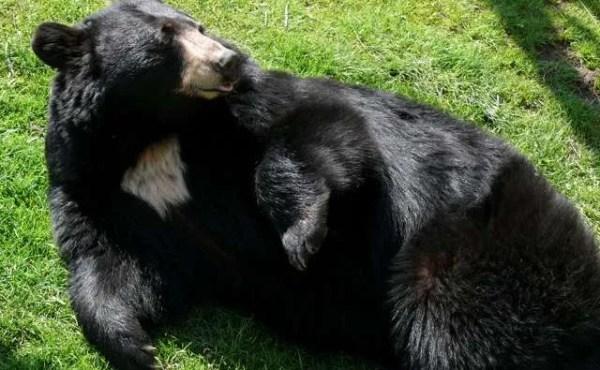 oso-negro-florida