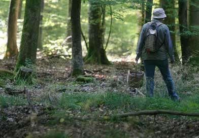 Champignons en Alsace : une cueillette en disette