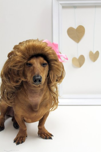 ammo the dachshund valentines day