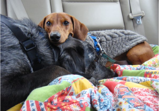ammo the dachshund car seat