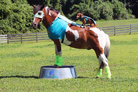 Ammo the Dachshund Super Hero and his Super Hero Pony