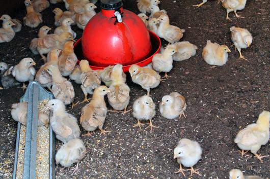 Ammo the Dachshund visits Wyebrook Farm