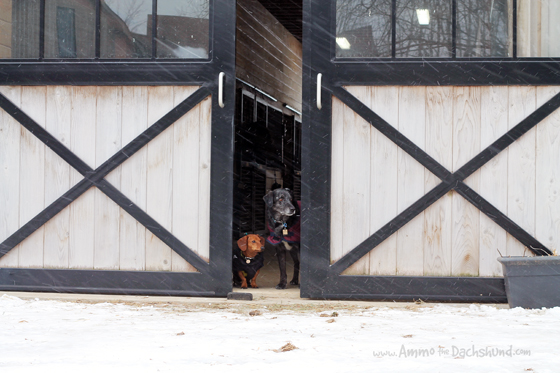 Winter on the Farm // Ammo the Dachshund