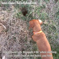 Dachshund Life Struggle - The Saga
