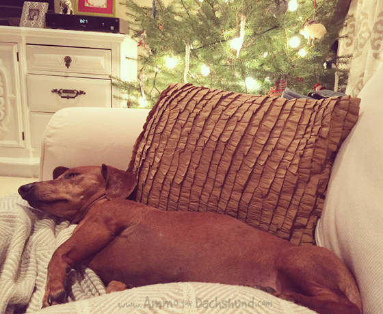 Oh The Places You Sleep: Vol. 10 with Ammo the Dachshund