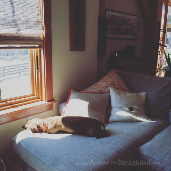 Oh The Places You Sleep: Vol. 13 with Ammo the Dachshund
