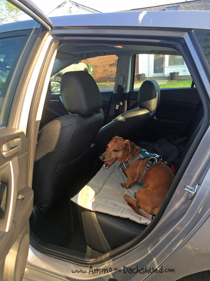 Ammo the Dachshund Gets a New Ride