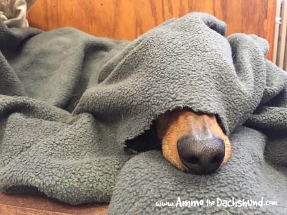 Oh The Places You Sleep: Vol. 17 with Ammo the Dachshund