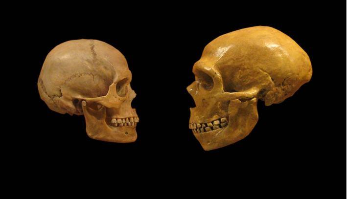 Comparación de cráneos humanos modernos y neandertales.
