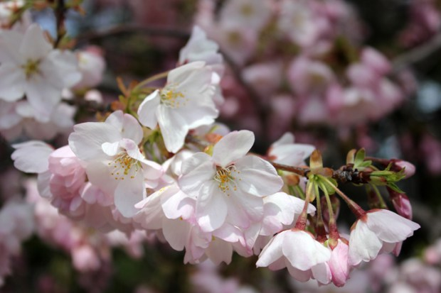 Cherry blossoms. (Photo by Andrea Kenner, Apr. 8, 2013)