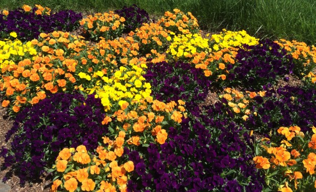 Pansies at trail's end