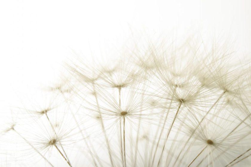 macro of an overblown fluffy dandelion