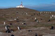 Магеллановы пингвины в своих норах.