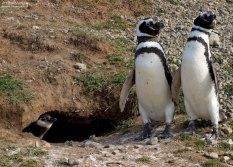 Пингвины-родители и спрятавшийся в норе пингвиненок.