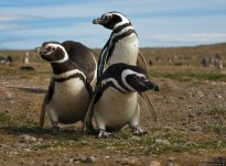 Пингвины быкуют.