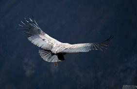 Размах крыльев Андского кондора составляет примерно 274 - 310 см.
