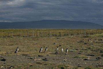 Пингвины на тундровых просторах.