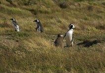 Самка Магелланового пингвина с дитем.