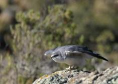 Puna hawk отправляется на охоту.