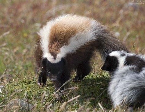 Самка скунса вида Molina's hog-nosed skunk.