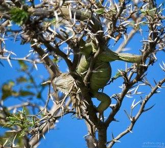 Самка игуаны на колючках муравьиной акации.
