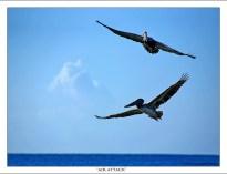 Атака двух пеликанов с воздуха.