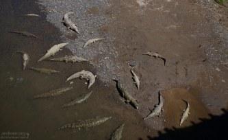 Крокодилы в устье реки Tarcoles, и тени людей на мосту.