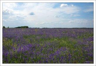 Огромный фиолетовый луг полевой Сокирки.