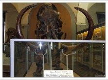 Скелет мамонта, найденный на берегу реки Лены в 1799 году. Зоологический музей.