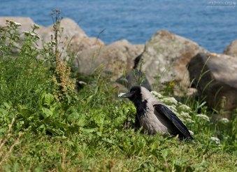 Подросший птенец вороны на набережной в Нижнем парке Петергофа.