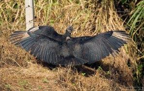 Черные грифы прогревают перья в первых солнечных лучах.