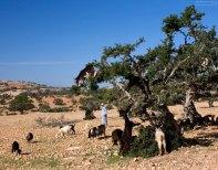 Пастух, и его лазающие по деревьям козы.