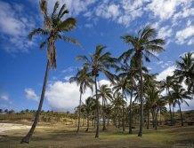 Пальмовая рощица около пляжа Anakena beach.