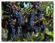 Виноград поспел.