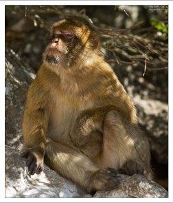 Надменная гибралтарская обезьяна.