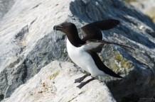Гагарка появляется на берегу только во время брачного периода и ухаживания за птенцами.