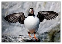 Несмотря на свои сравнительно небольшие размеры, продолжительность жизни птицы около 25 лет.