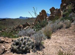 Кактусы трех видов и куст окотилло на тропе Grapevine Hills Trail.