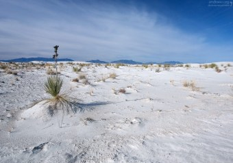 Как и остальные растения пустыни, юкки имеют свойство задерживать белый песок.