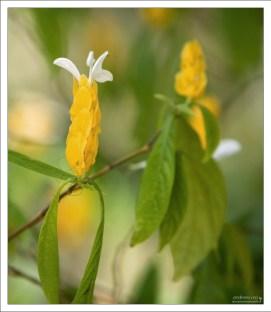 """Пахистахис жёлтый (Pachystachys lutea), известный как """"Куст-креветка"""" (Shrimp Plant)."""